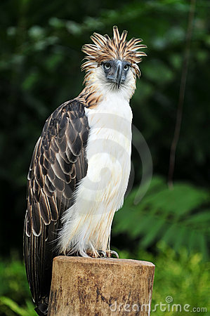 Top 3d Wallpaper Hd Philippine Eagle Stock Photo Image 15935950