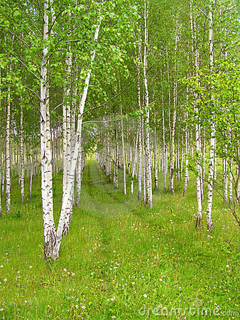 Vector Wallpaper Fall Colors Rows Of Birch Trees With Green Grass And Flowers Stock