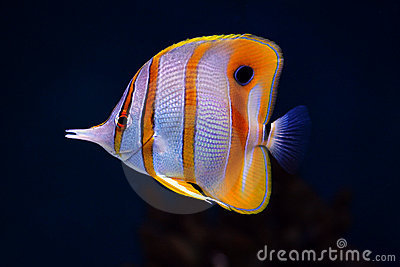 Download Wallpaper Aquarium 3d Tropical Fish Colourful Sixspine Butterfly Fish Stock