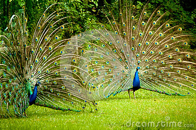 New 3d Animation Wallpaper Twin Peacocks Royalty Free Stock Image Image 31460566