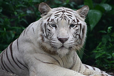 Abstract Lion Wallpaper Hd White Tiger Royalty Free Stock Photos Image 11272308