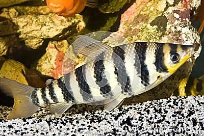 Yellow Black Striped Fish Aquarium Stock Photos, Images And Vector