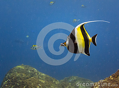 Yellow and black tropical fish for Yellow tropical fish