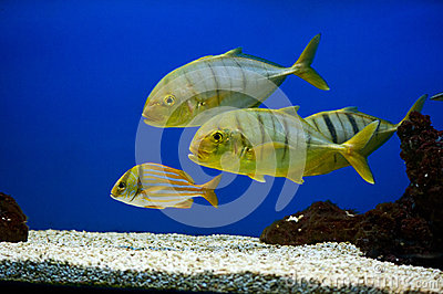 Yellow fish with black stripes Stock Images