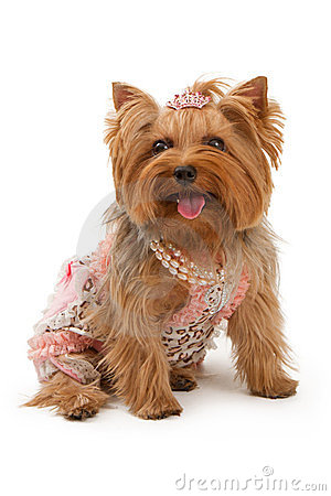 Cute Trendy Wallpapers Yorkshire Terrier Dog In Fancy Clothes Stock Photo Image
