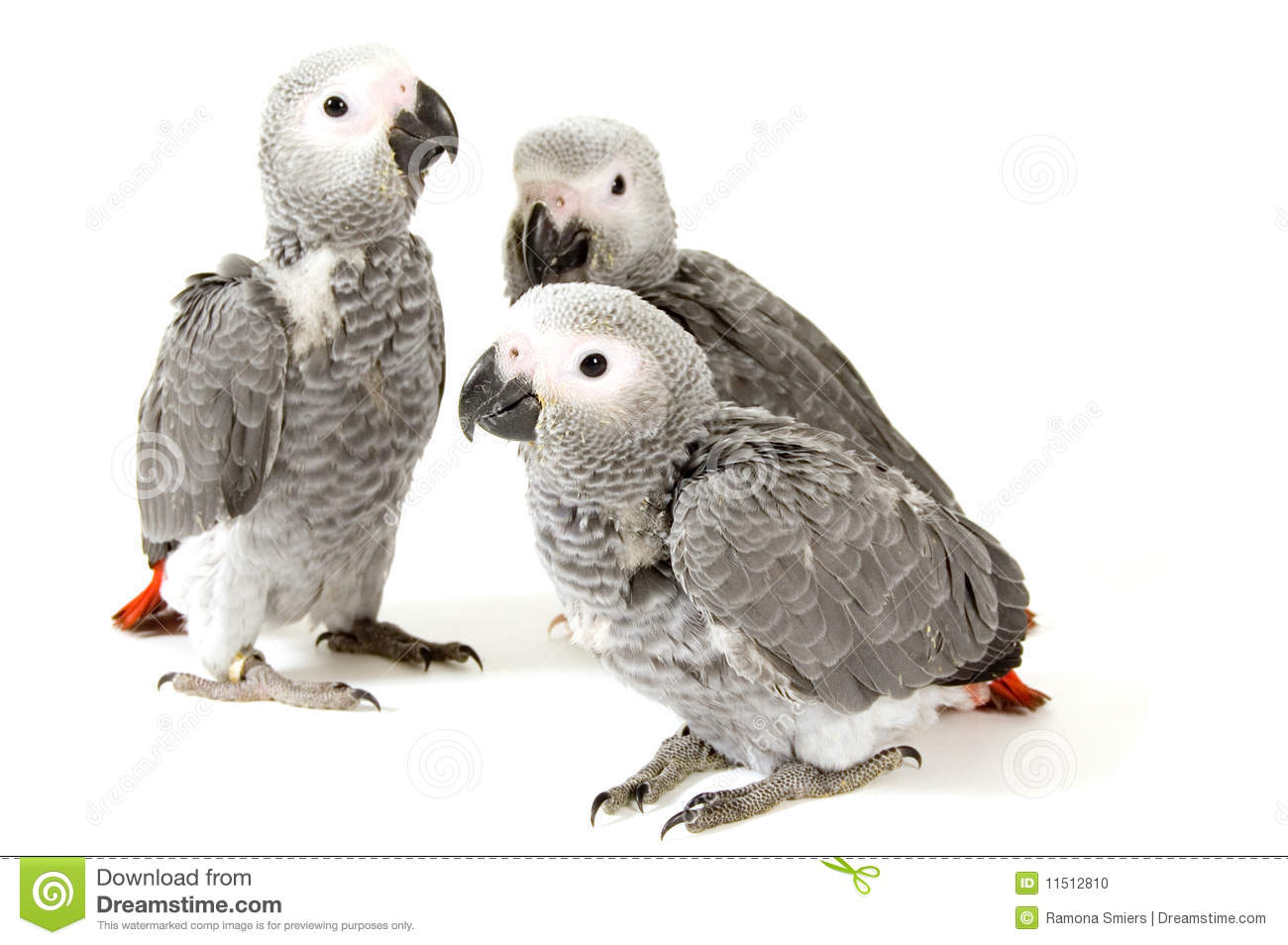 Mr White Koper 3 Baby Parrots Isolated On White Stock Photo Image 11512810