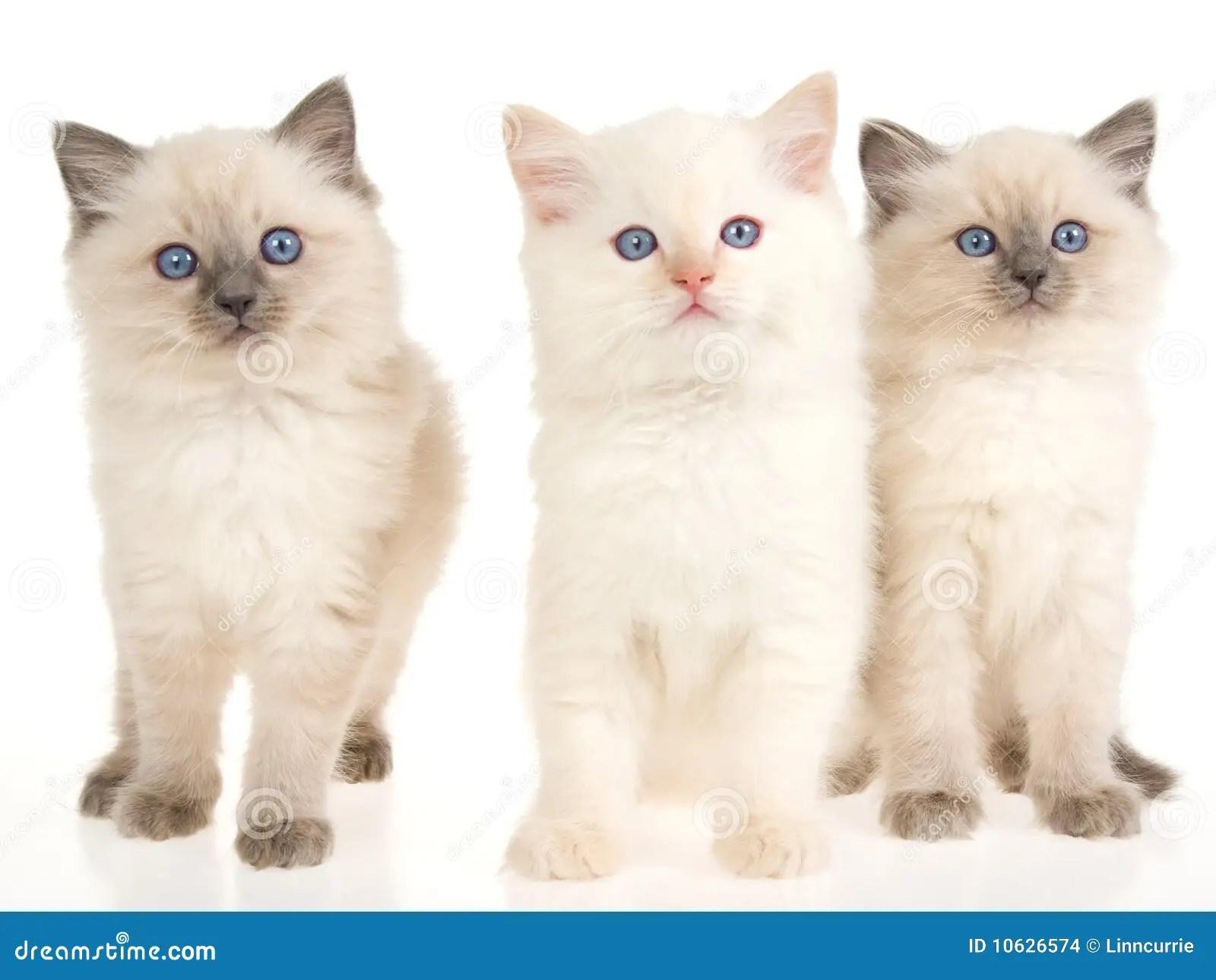 Cute White Kittens With Blue Eyes Wallpaper 3 Gatinhos De Ragdoll No Fundo Branco Imagens De Stock