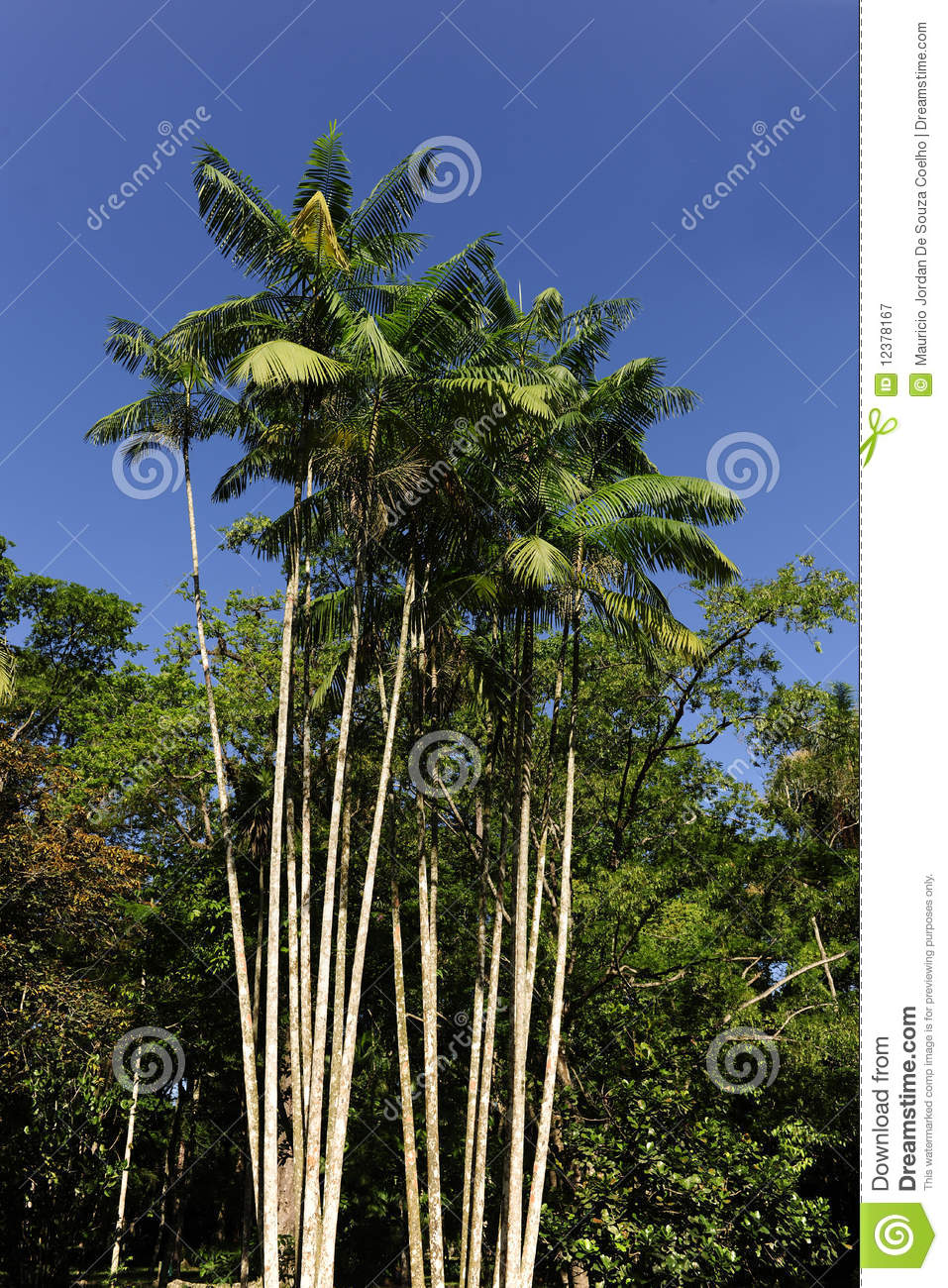 Dreamstime Images Acai Palm Against Blue Sky Stock Image Image Of Green