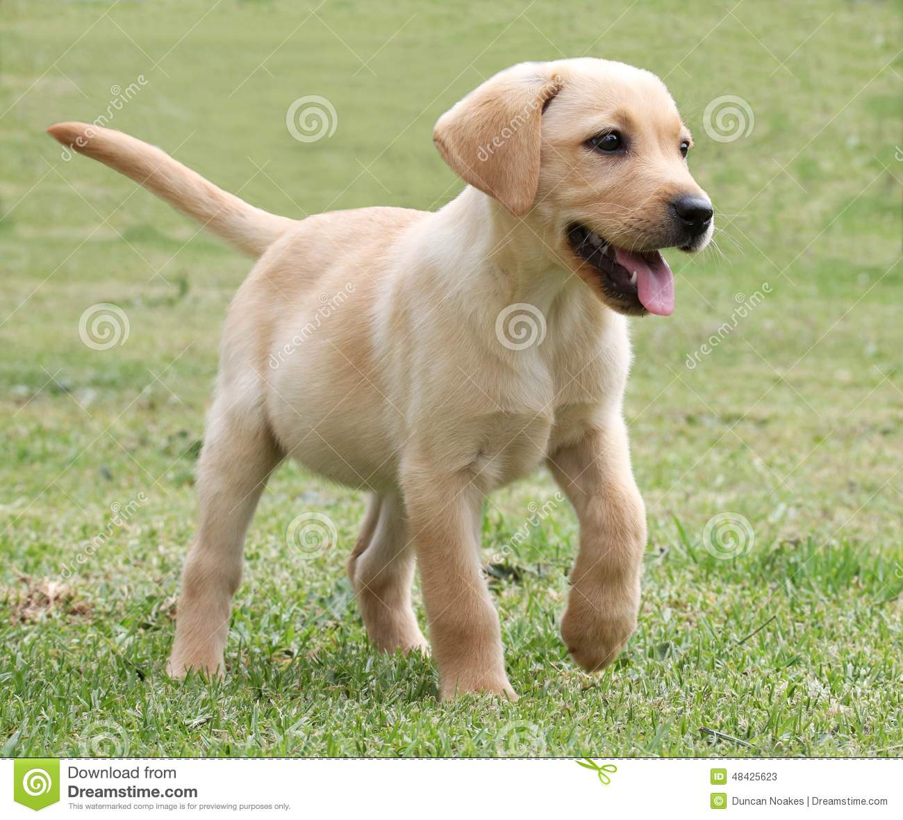 Black Lab Dog Running Adorable Labrador Puppy On Green Grass Stock Image Image