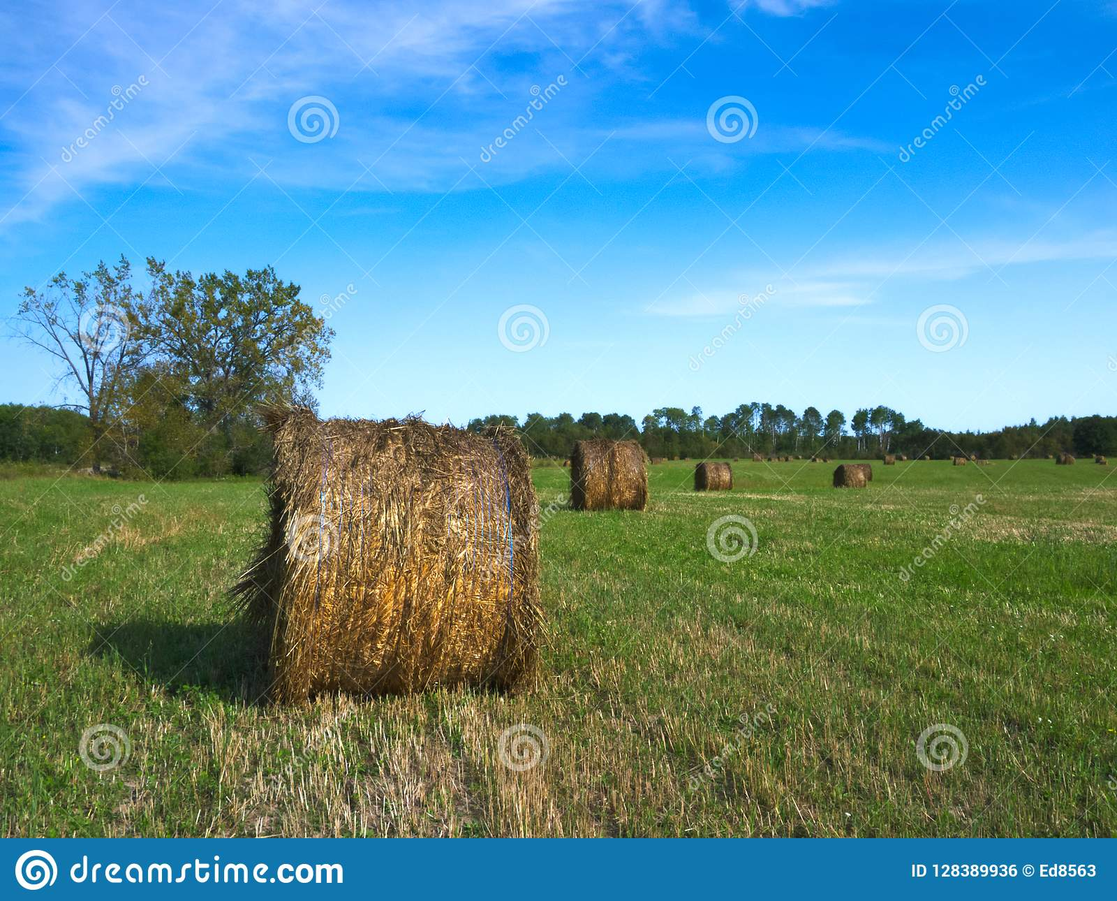Feed Hay Agricultural Field With Round Bales Of Hay To Feed Cattle In