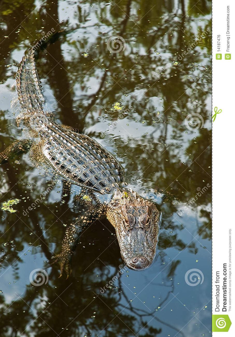 Beautiful Wallpapers 3d Animation Alligator In Louisiana Swamp Usa Royalty Free Stock