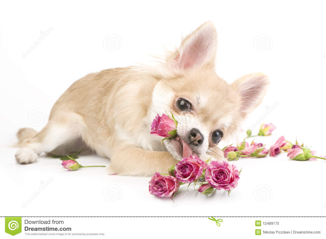 Happy Mothers Day Hd Wallpaper Amusing Chihuahua Puppy With Roses Stock Photo Image