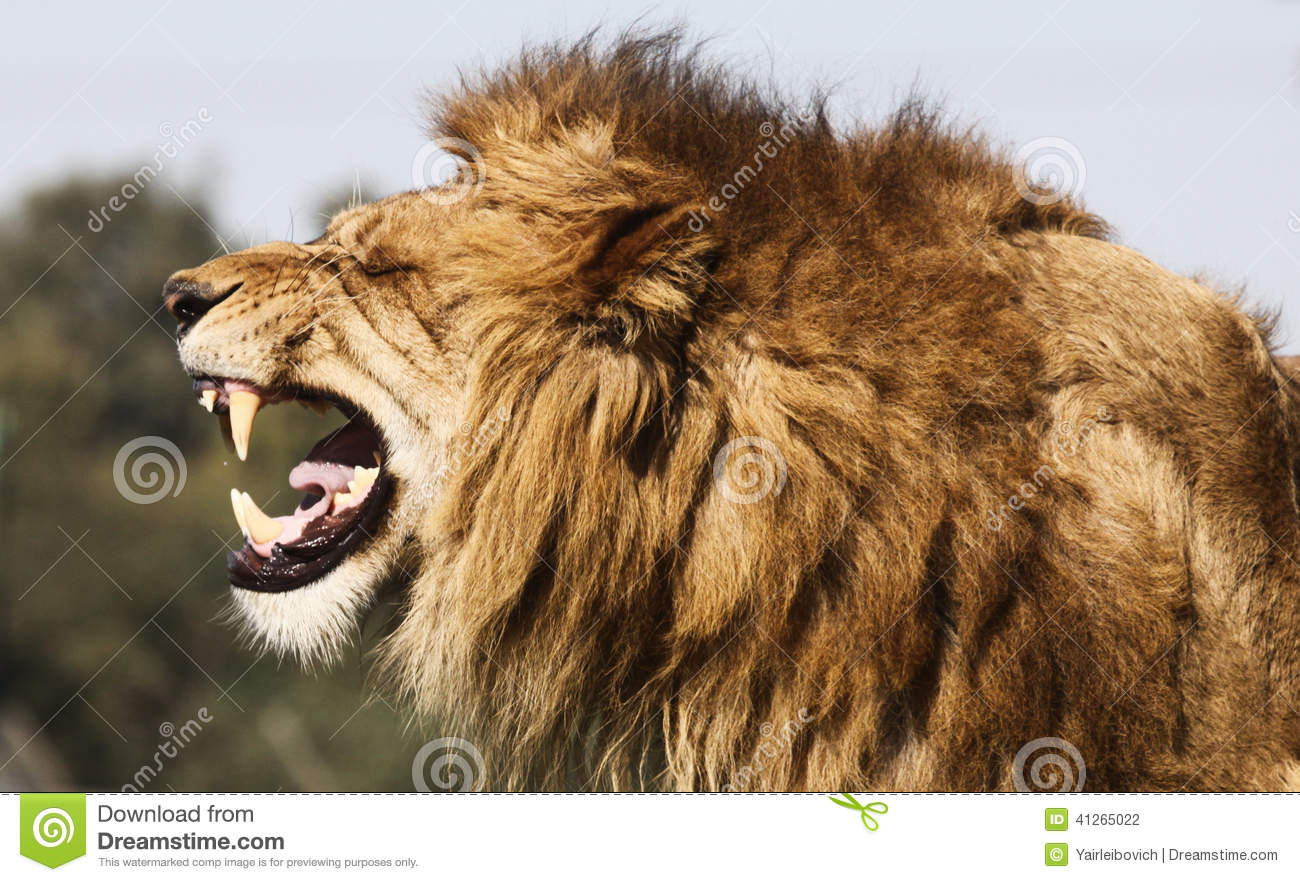 Angry Lion Wallpaper Hd 1080p Angry Lion Stock Photo Image 41265022