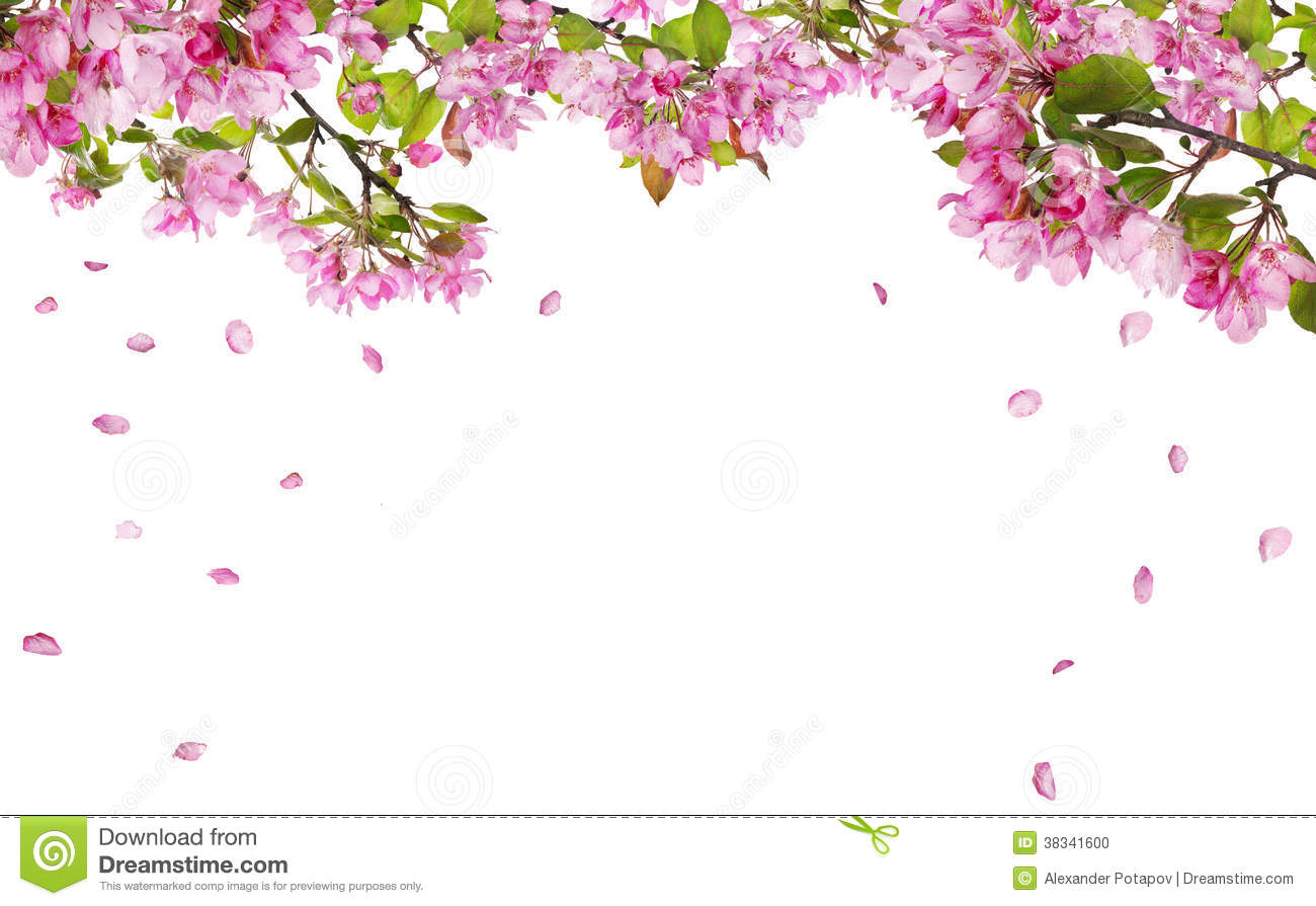 Rose Petals Falling Wallpaper Transparent Gif Apple Tree Blossom Branches And Falling Petals Stock Photo