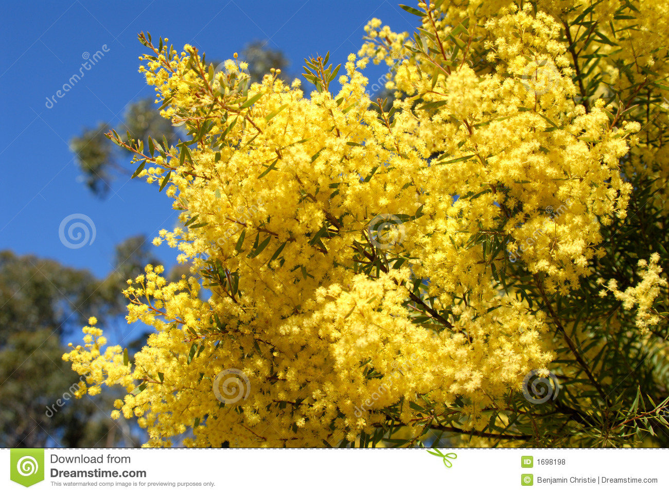 Mimosa Plant Kopen Australian Wattle In Spring With Yellow Flowering Bloom