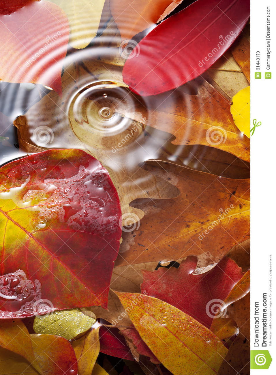 New England Fall Foliage Wallpaper Autumn Leaves Water Drop Background Stock Photos Image