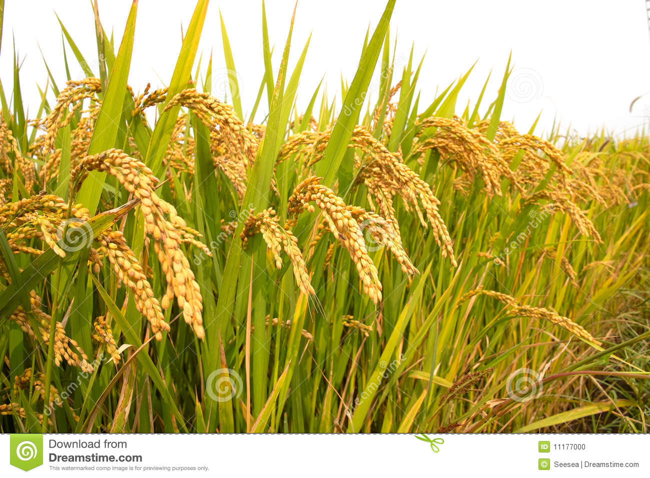 Free Fall Harvest Wallpaper Autumn Rice Field Stock Photo Image Of Colorful Outdoor