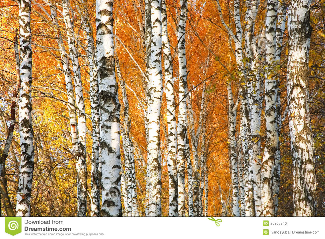 Fall Woods Wallpaper Autumn Yellowed Birch Forest Stock Photo Image 26705940