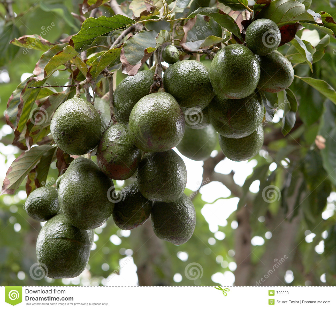 Avocado Boom Avocado Tree Stock Image Image Of Orchard Fruit Leaves 720833