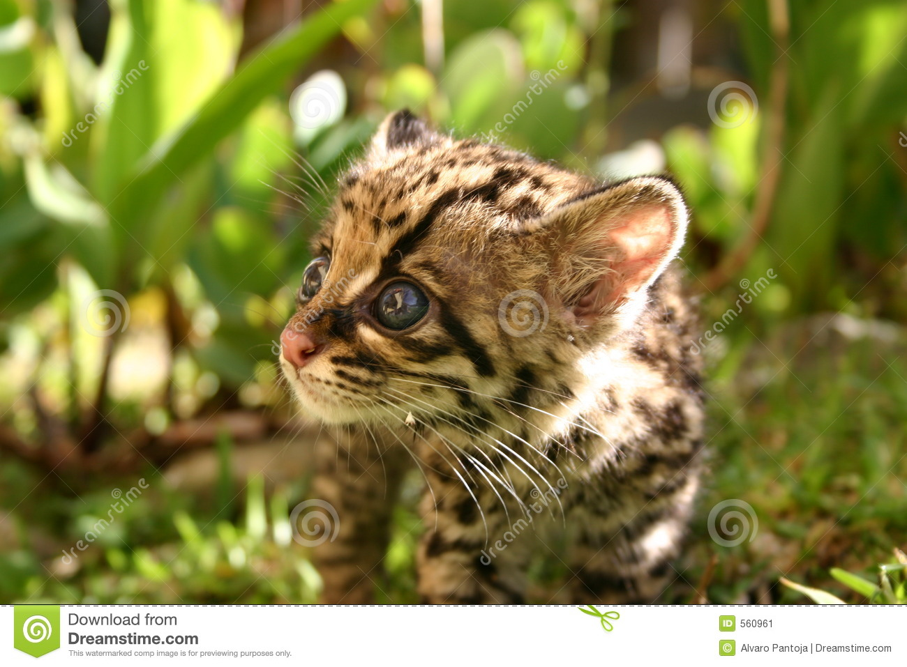 Cute Baby Wallpaper Full Hd Baby Margay Stock Image Image Of Nature Fauna Innocence