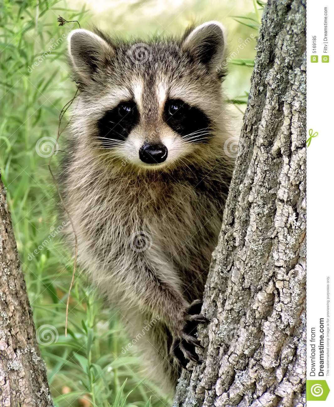 Cute Paw Print Wallpaper Baby Racoon Stock Image Image Of Looking Nature