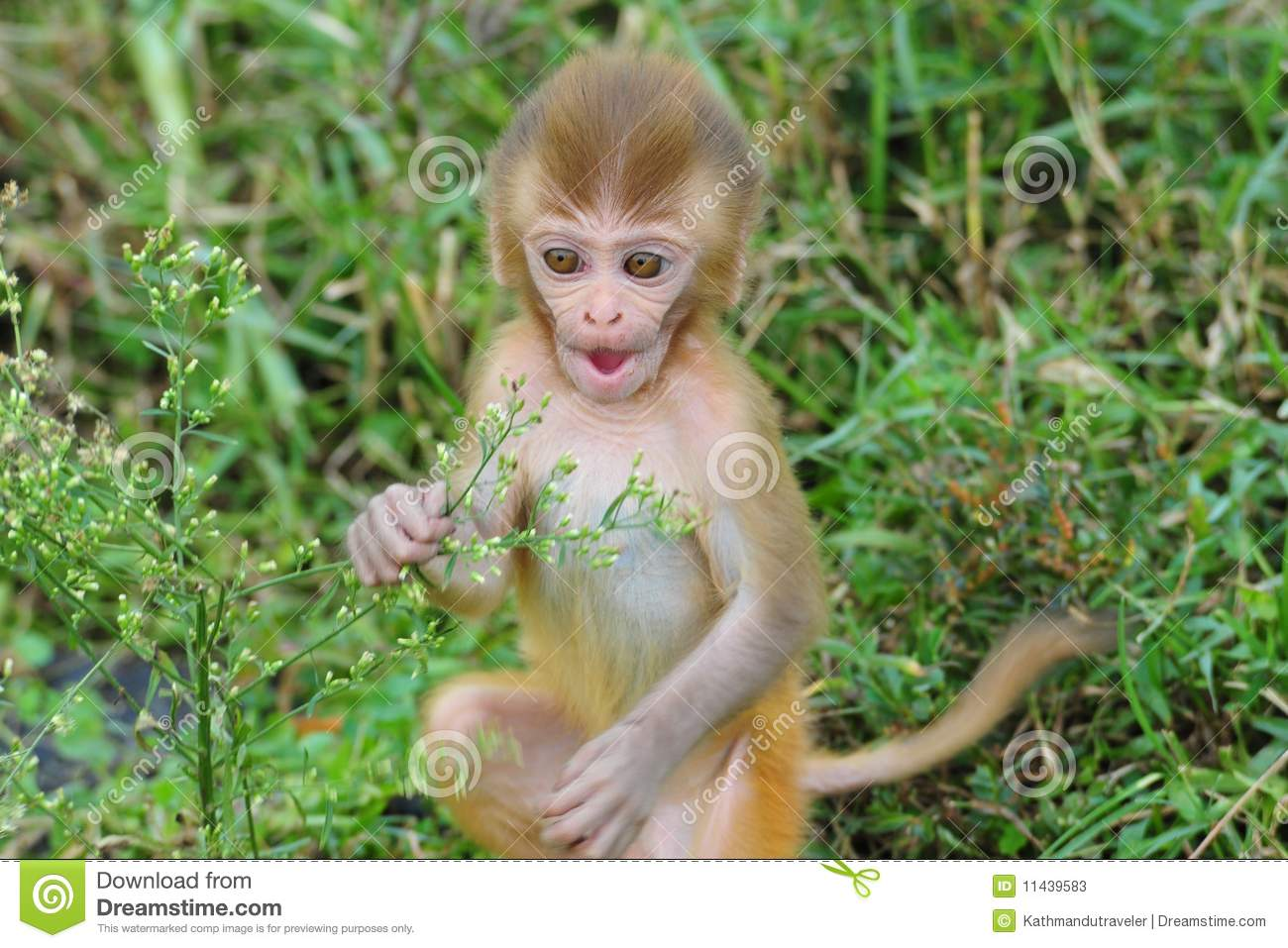 Cute Live Wallpaper Download Baby Rhesus Macaque Monkey Stock Image Image Of Wild