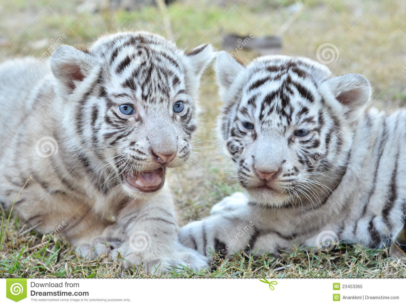 Cute Cubs Wallpaper Baby White Tiger Stock Image Image Of Extinct Carnivore