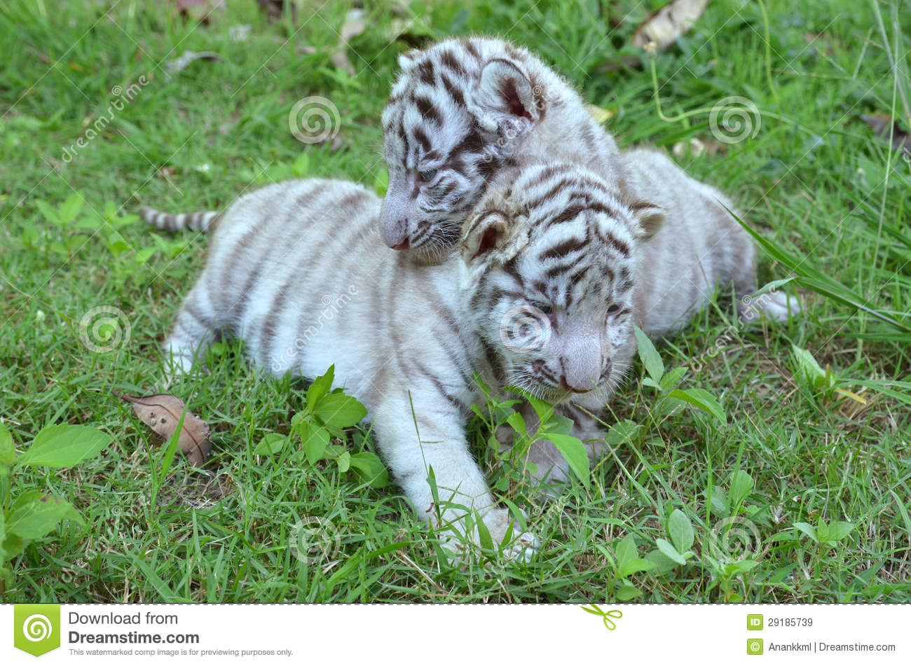 Danger 3d Wallpaper Download Baby White Tiger Playing On Grass Royalty Free Stock