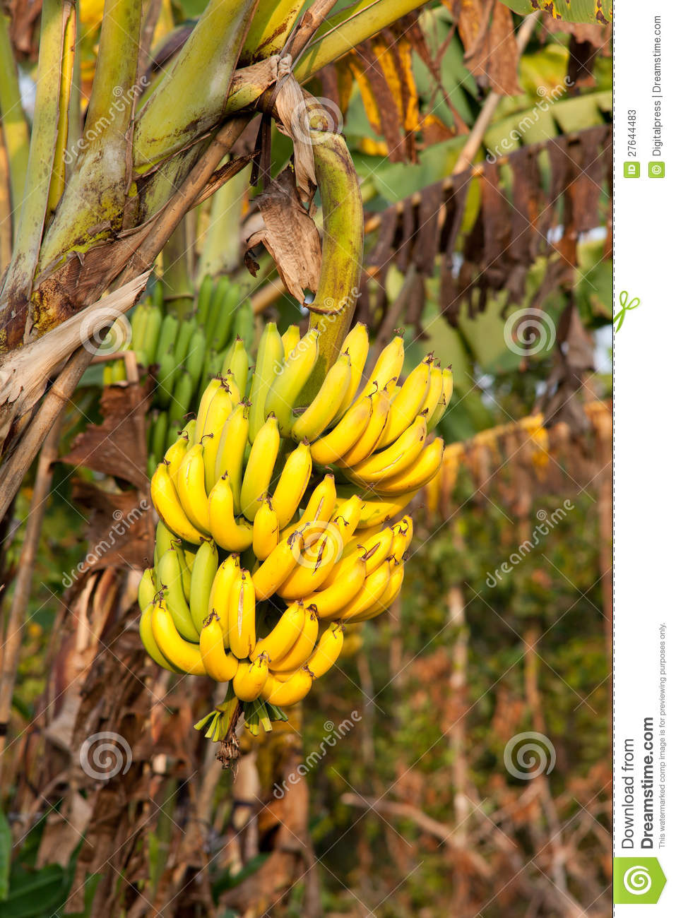Dreamstime Images Banana Tree Stock Photos Image 27644483