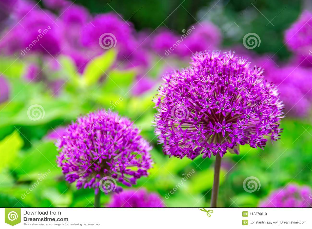 Beautiful Pictures Of Flowers Beautiful Flowers Of Onion Allium Purple Colour Garden Nature