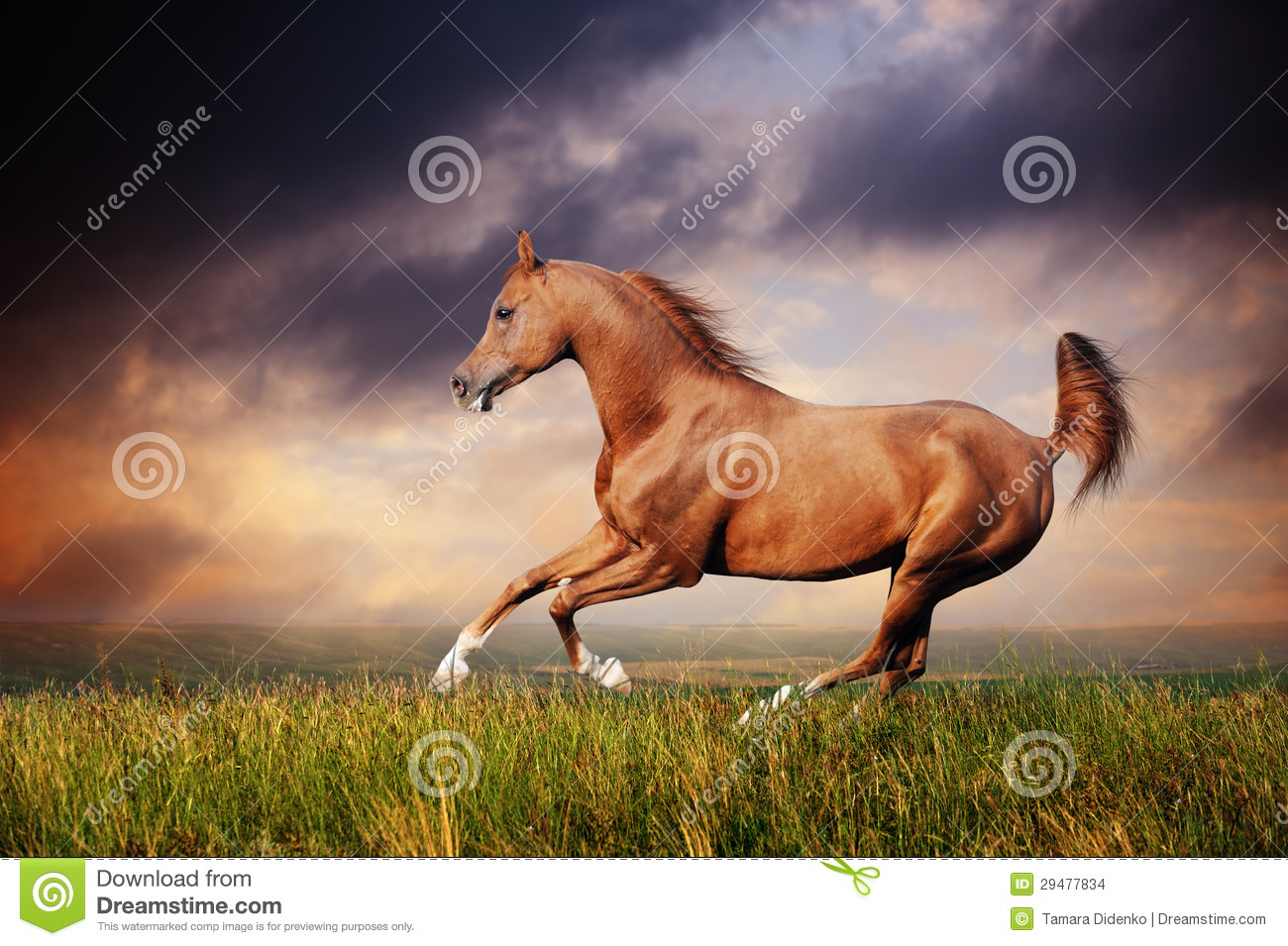 3d Mustang Wallpaper Beautiful Red Arabian Horse Running Gallop Stock Images
