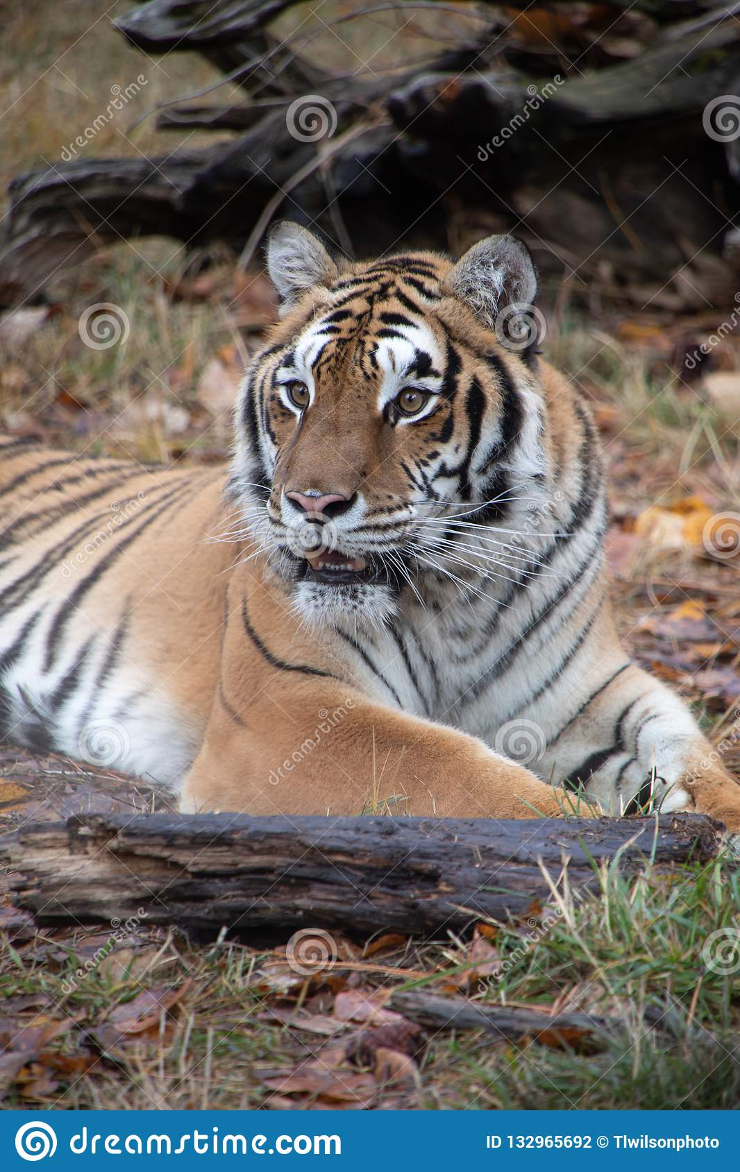 Tiger Lounging Photos Free Royalty Free Stock Photos From Dreamstime