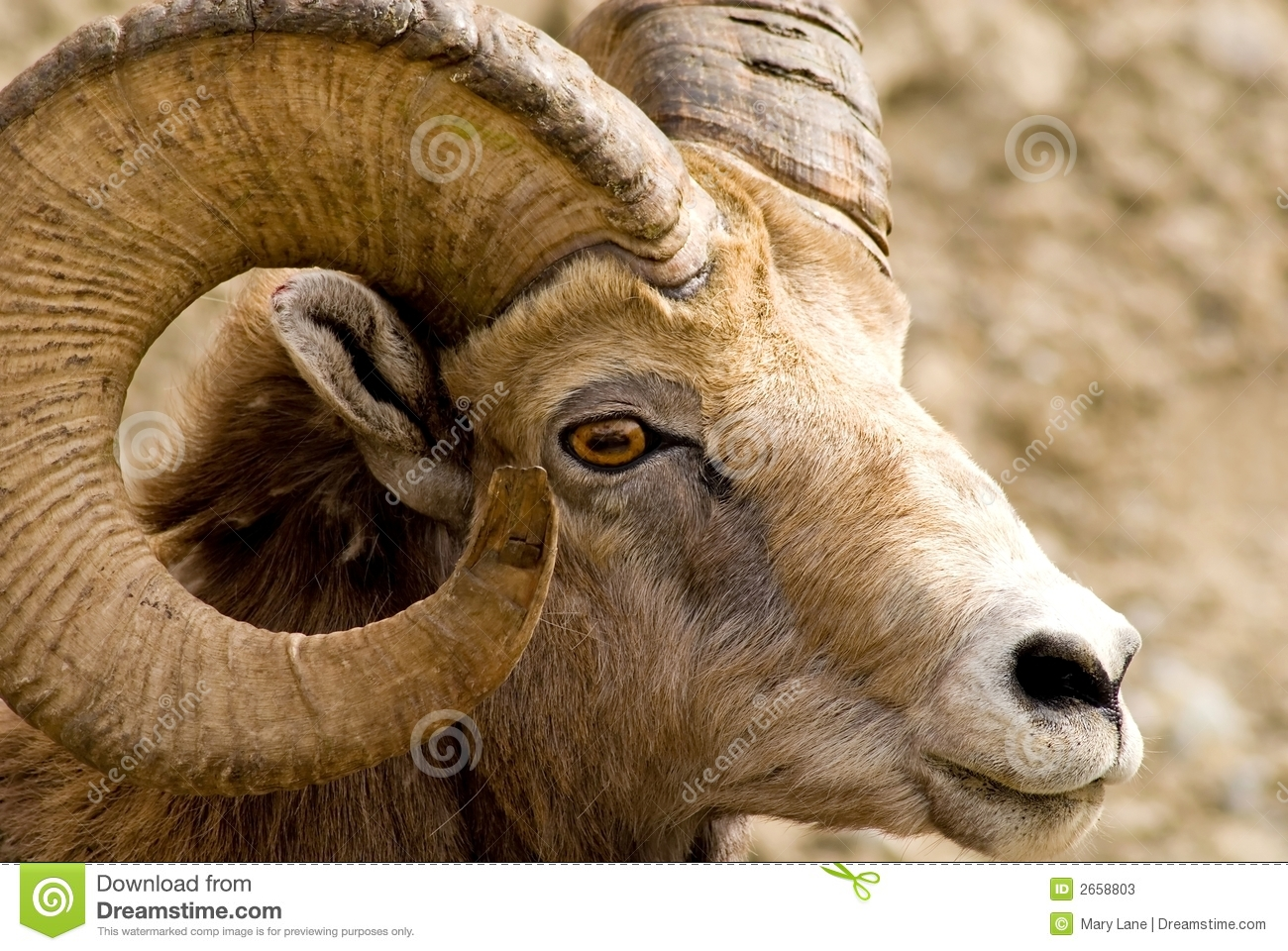 Complete Black Wallpaper Big Horned Mountain Sheep Stock Photos Image 2658803