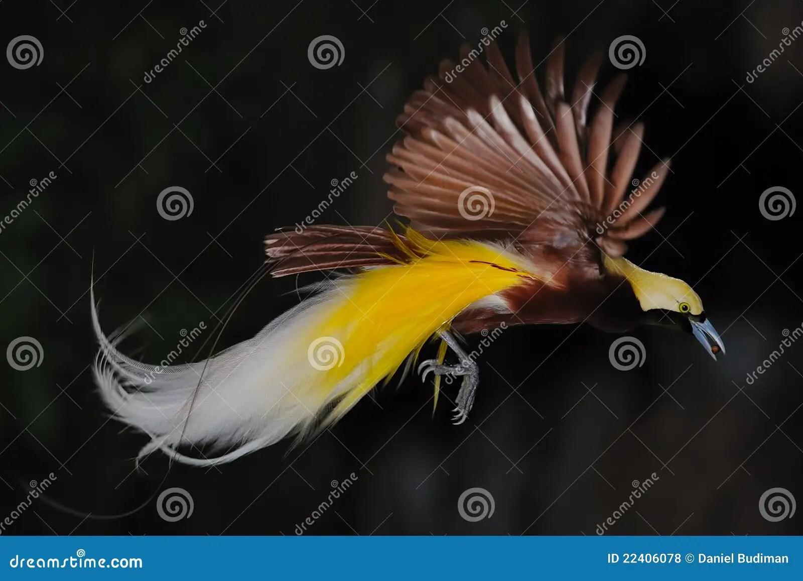 Bird Of Paradise Hd Wallpaper Bird Of Paradise In Flight Stock Photo Image Of Male