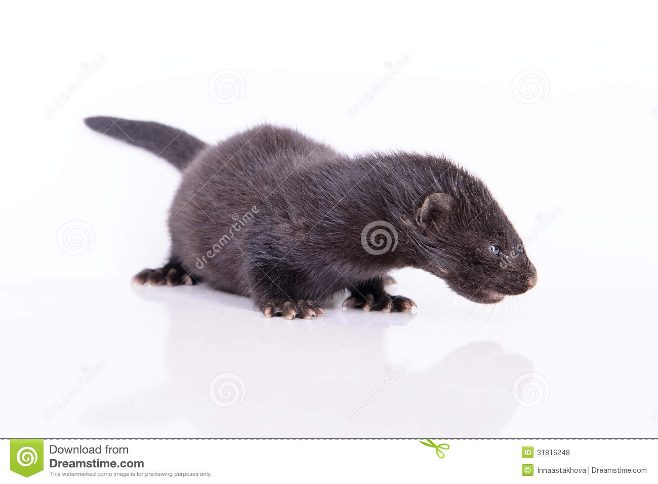 Animal Noir Black Animal Mink Stock Photo Image Of Polecat Mink