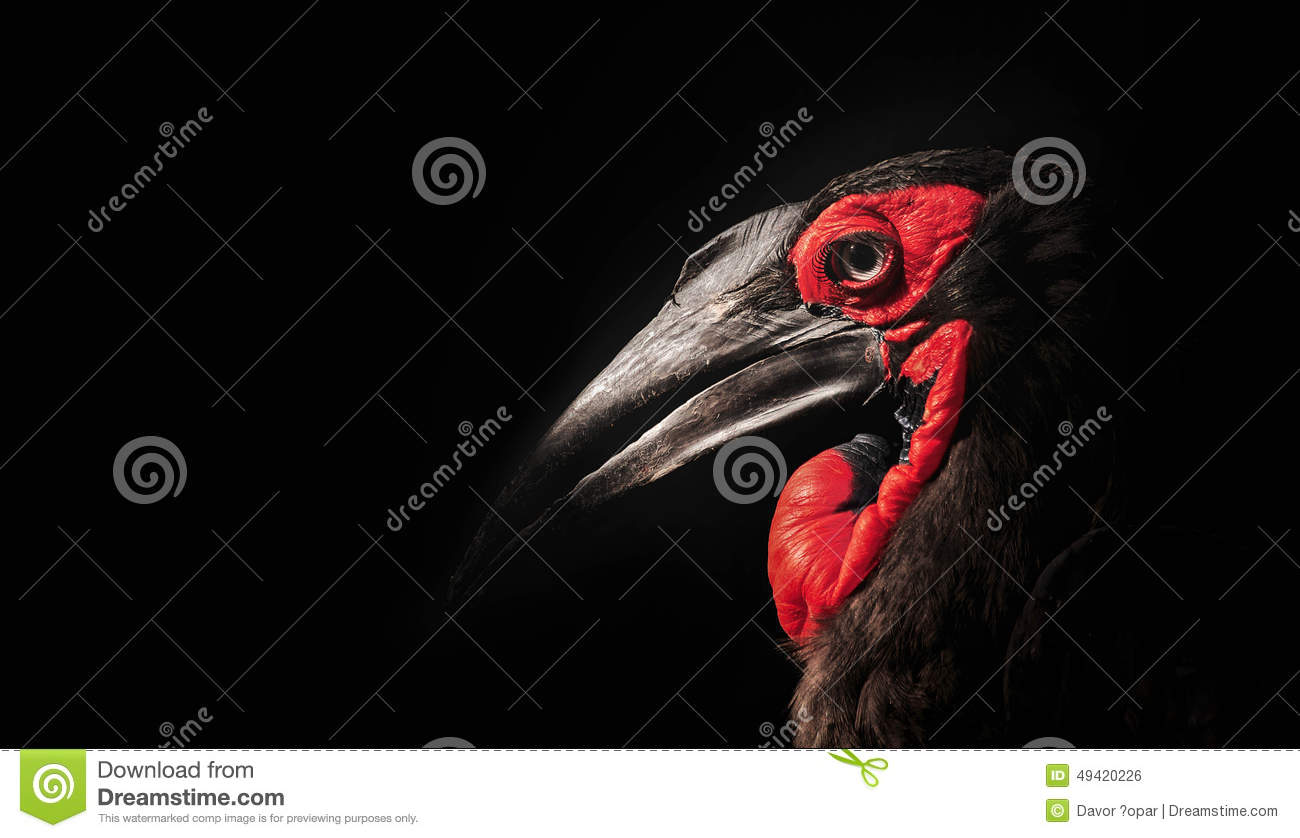Red Accents Black Bird Stock Photo Image Of Exotic Bird Black