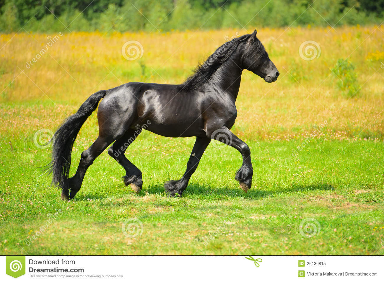 Running Horse 3d Wallpaper Black Horse Runs Trot On The Meadow Royalty Free Stock
