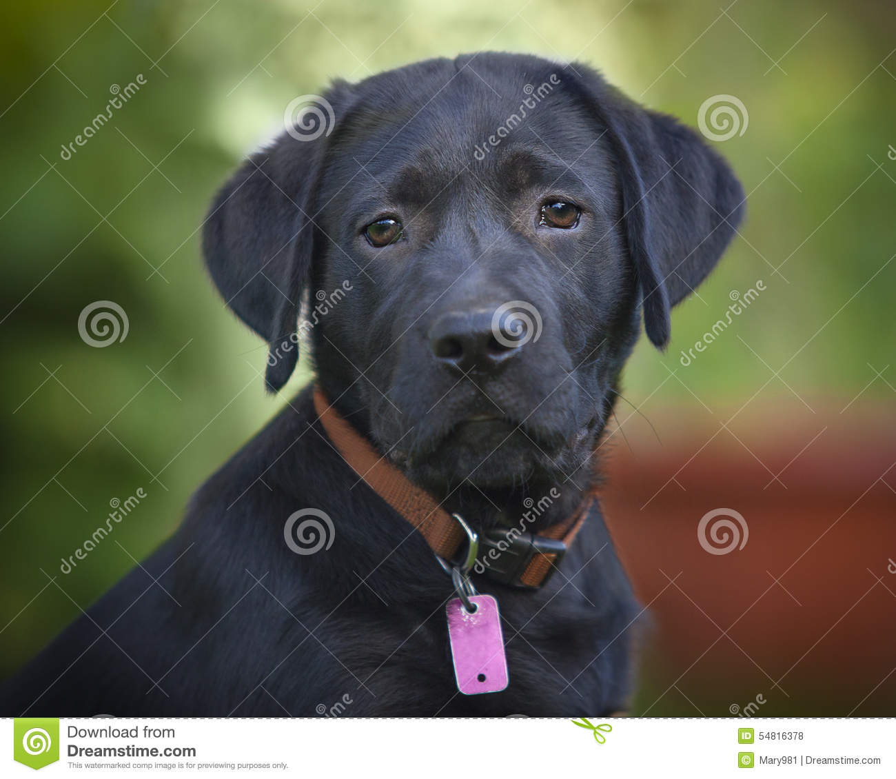 Black Lab Dog Male Black Lab Male Puppy Stock Photo Image 54816378