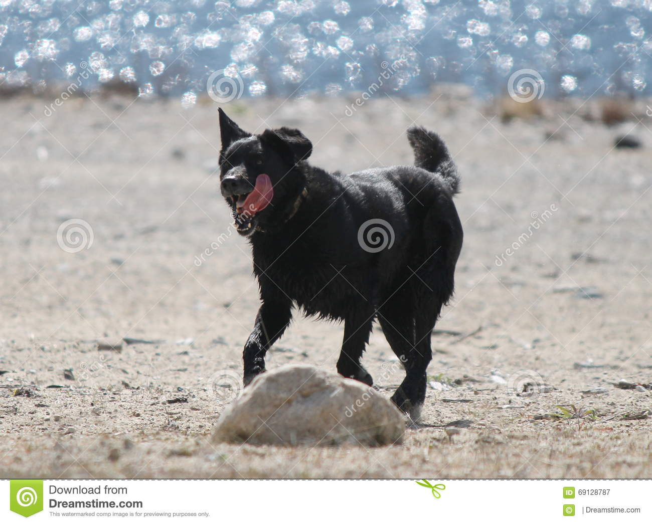 Black Lab Dog Running Black Lab On Beach Royalty Free Stock Photography