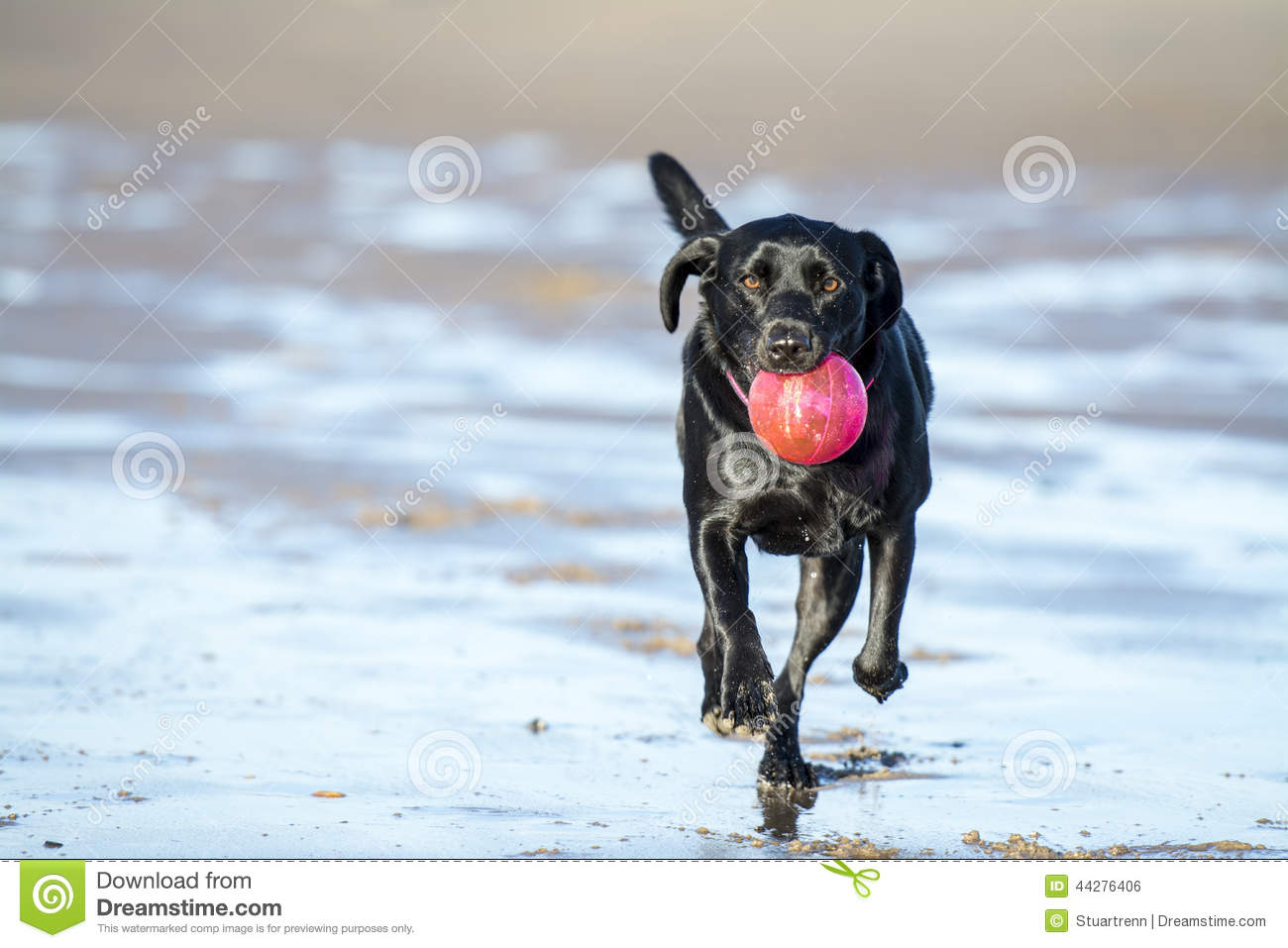 Black Lab Dog Running Black Labrador Playing With Ball On Beach Stock Photo