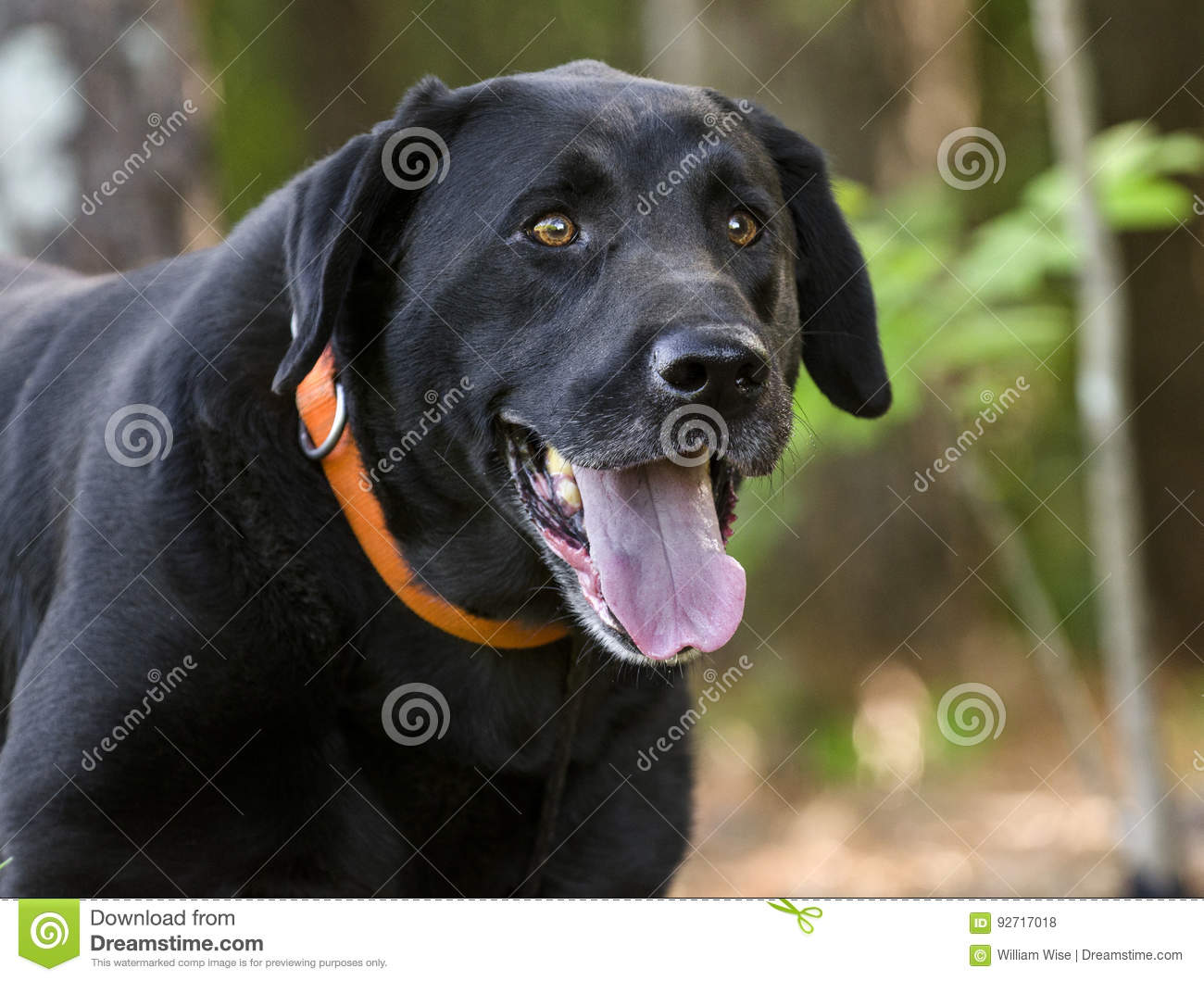 Black Lab Dog Male Black Labrador Retriever Dog Stock Photo Image Of Brown