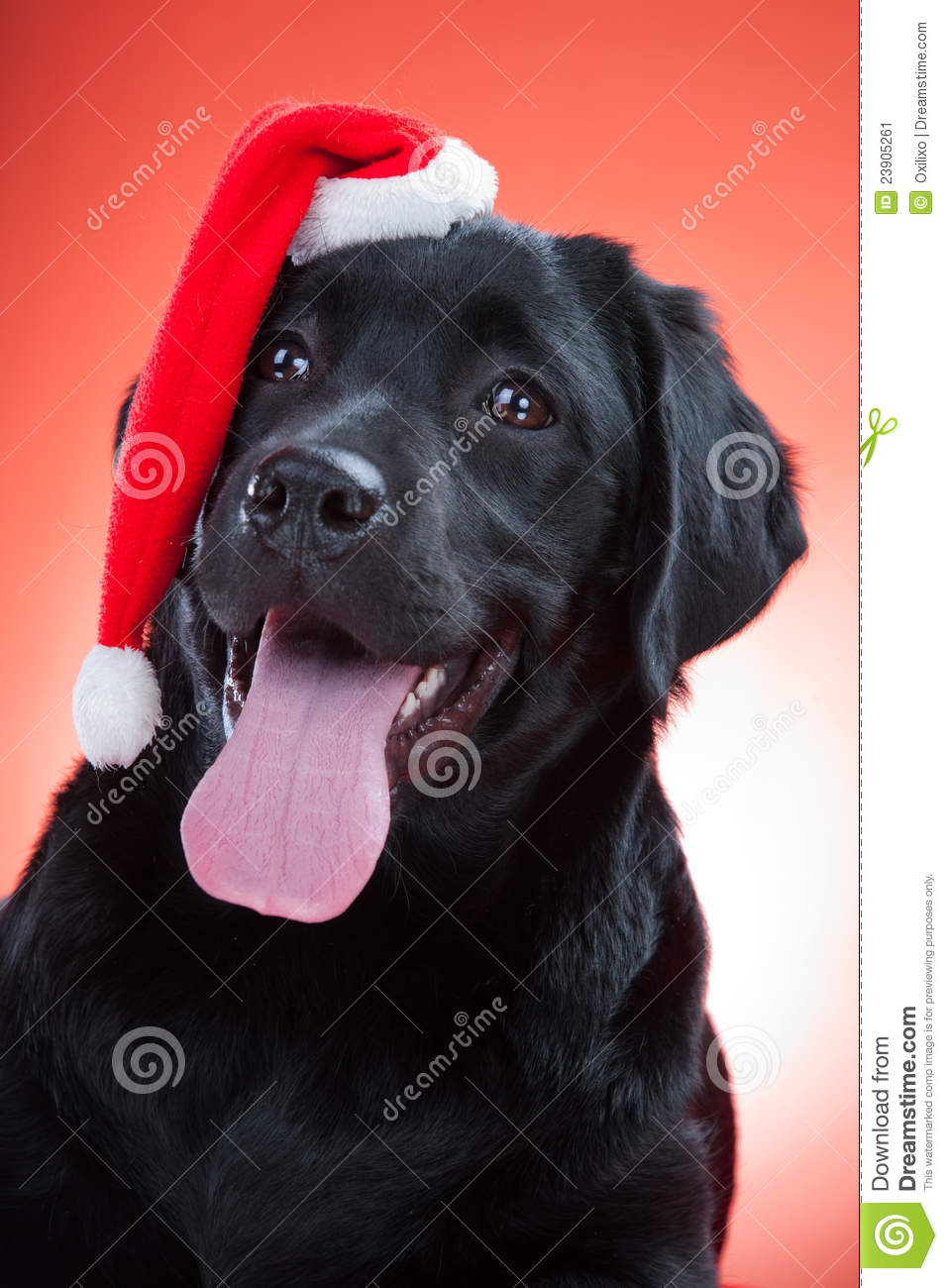 Cute Wallpaper Patterns Black Labrador Retriever Wearing Red Cap Of Santa Stock