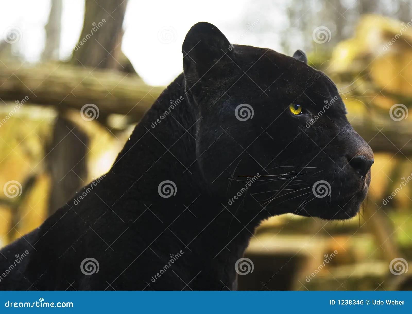 Safari Animal Wallpaper Black Panther Stock Photo Image Of Powerful Yellow