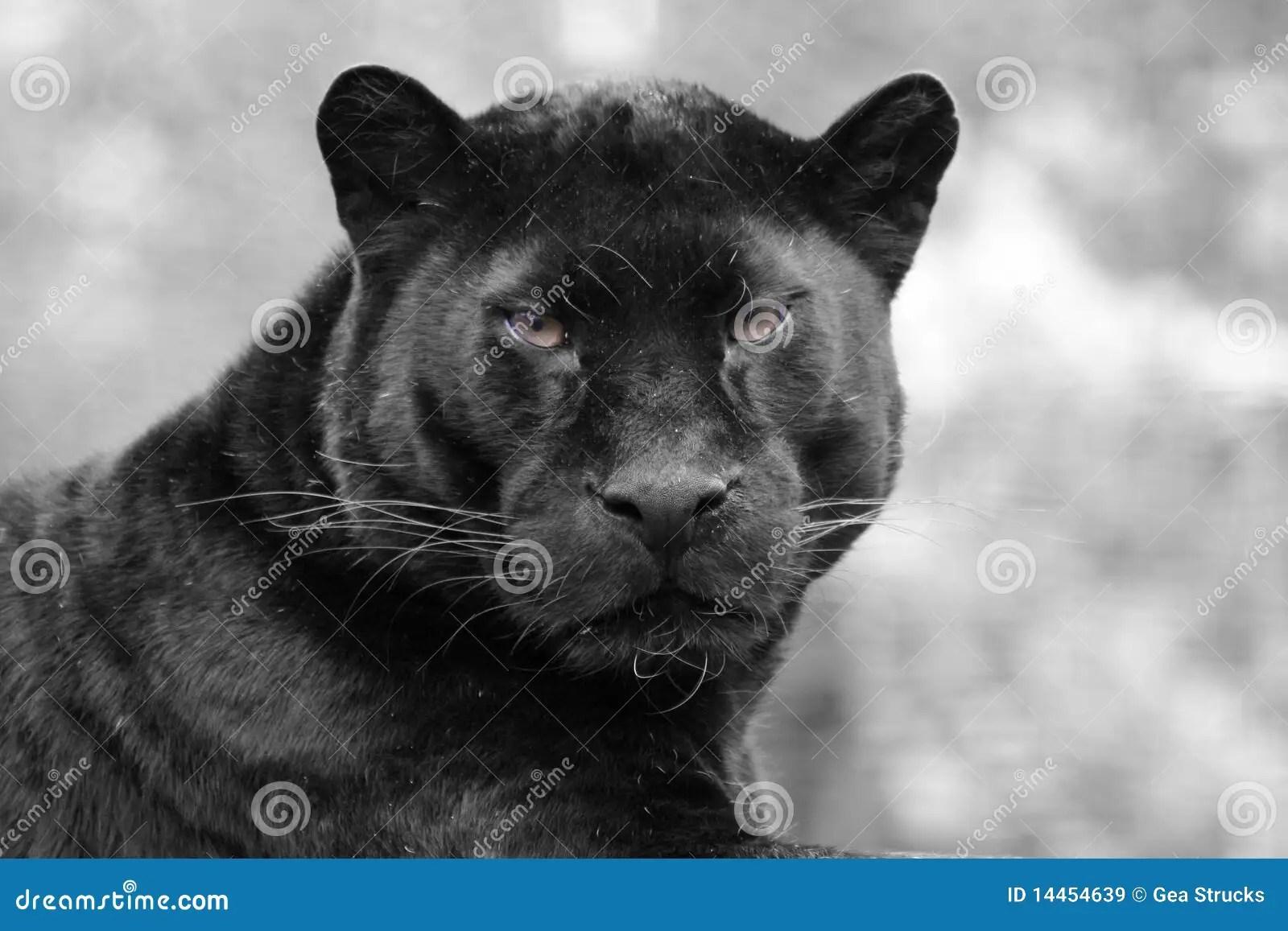Leopard Animal Print Wallpaper Black Panther Royalty Free Stock Images Image 14454639