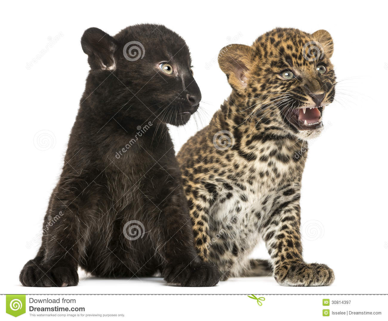 Black Panther Animal Wallpaper Black And Spotted Leopard Cubs Sitting Next To Each Other