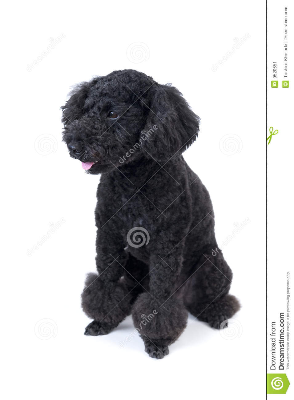 Black Animal Print Wallpaper Black Toy Poodle Stock Image Image Of Cute Black