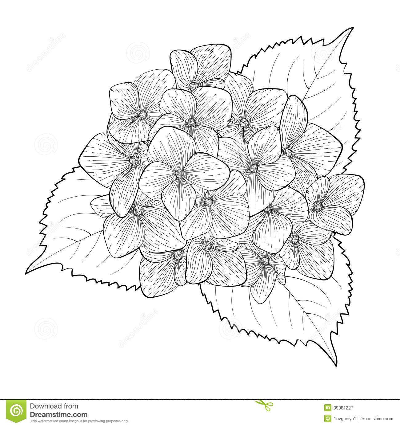 Hortensia Endless Summer Kopen Black And White Flower Hydrangea Isolated Stock Illustration Image