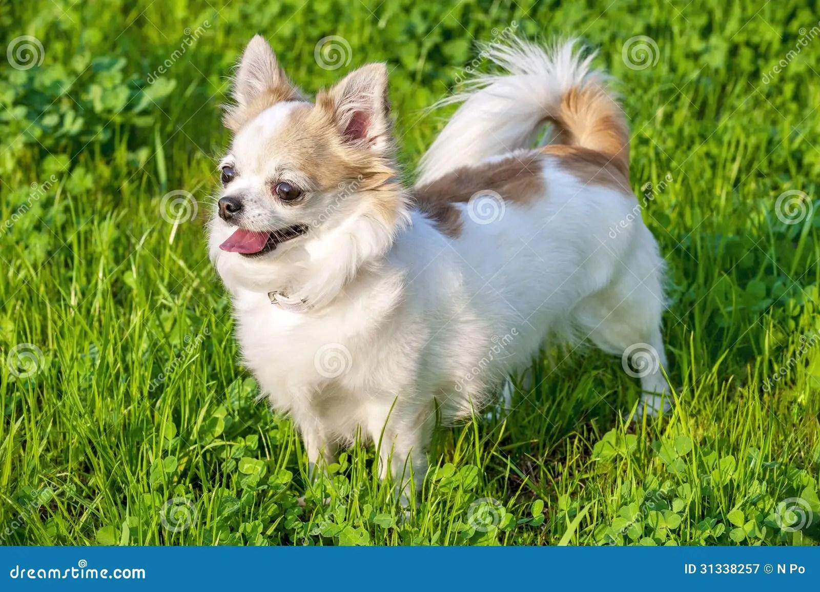 Cute Corgi Puppies Wallpaper Blanc Avec Le Chien Aux Cheveux Longs Rouge De Chiwawa Sur