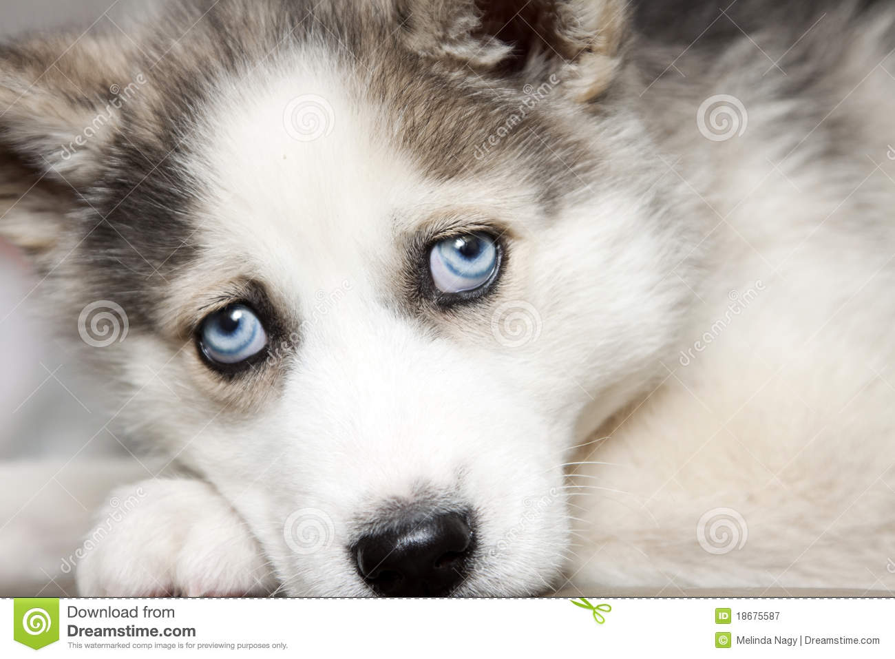 Blauw Grijze Ogen Siberian Husky Puppy With Blue Eyes Stock Photography