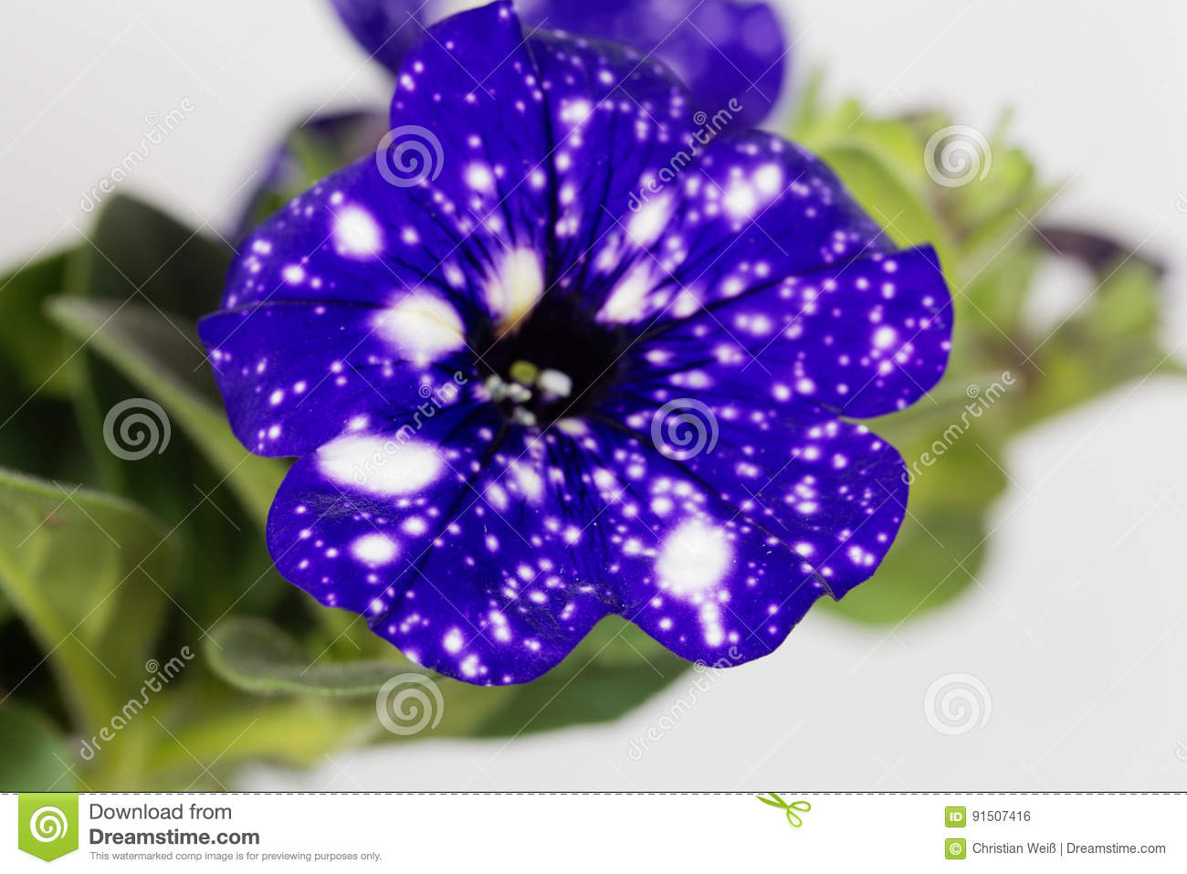 Spots Weiß Blue Flowers With White Spots Of A Cultivated Hybrid Petunia Stock